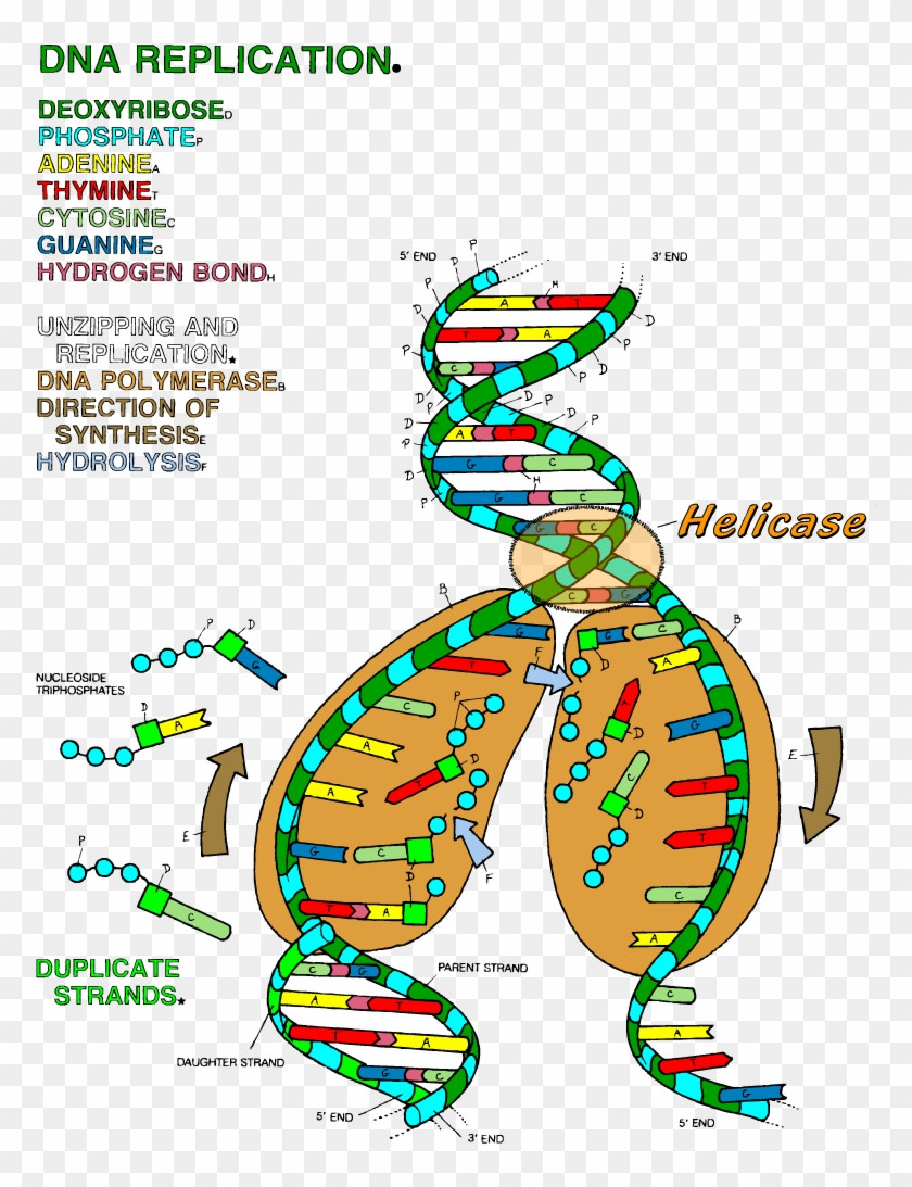 Dna The Double Helix Coloring Worksheet Dna Transcription
